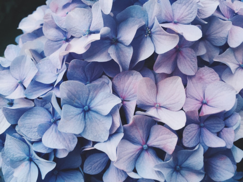 Blue hydrangeas tumblr.jpg