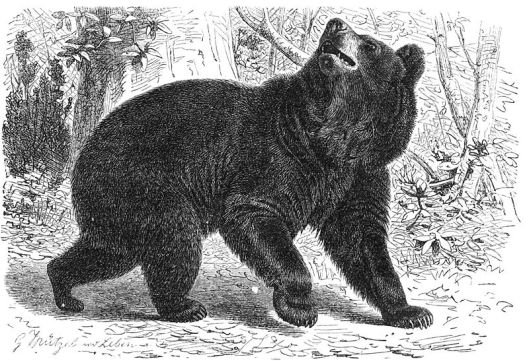 bear illustration.jpg